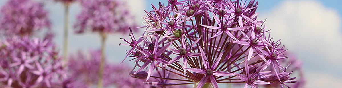Header_Allium_violett.jpg